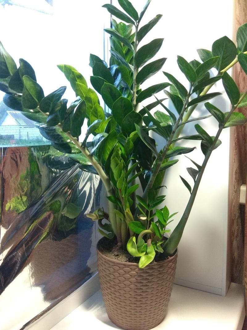 Самі посухостійкі рослини для кімнатного вирощування 4