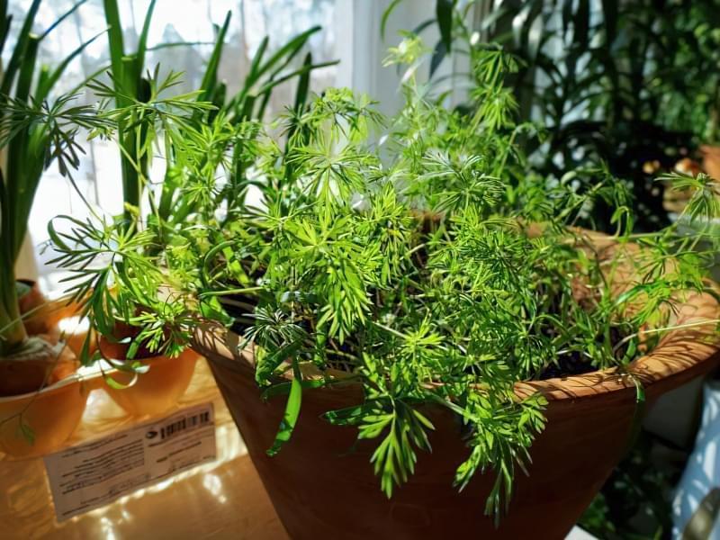 Вирощування кропу з насіння на підвіконні в квартирі: посадка, догляд 4
