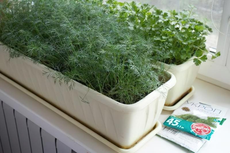 Вирощування кропу з насіння на підвіконні в квартирі: посадка, догляд 1