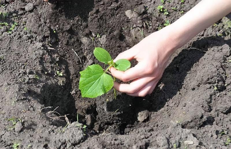 Як вирощувати розсаду за методом Курдюмова 3