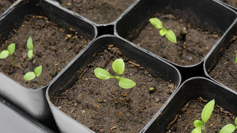 Як доглядати за розсадою баклажанів в домашніх умовах 1