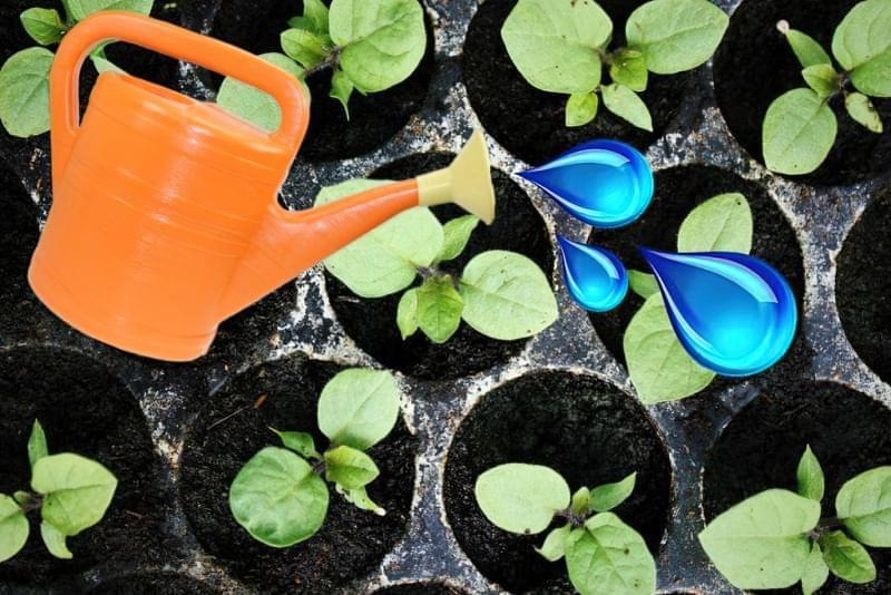 Як доглядати за розсадою баклажанів в домашніх умовах 4