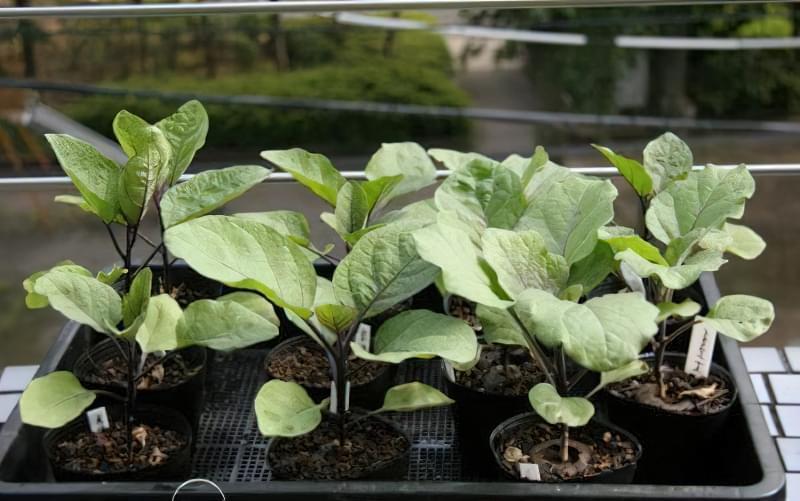 Як доглядати за розсадою баклажанів в домашніх умовах 5