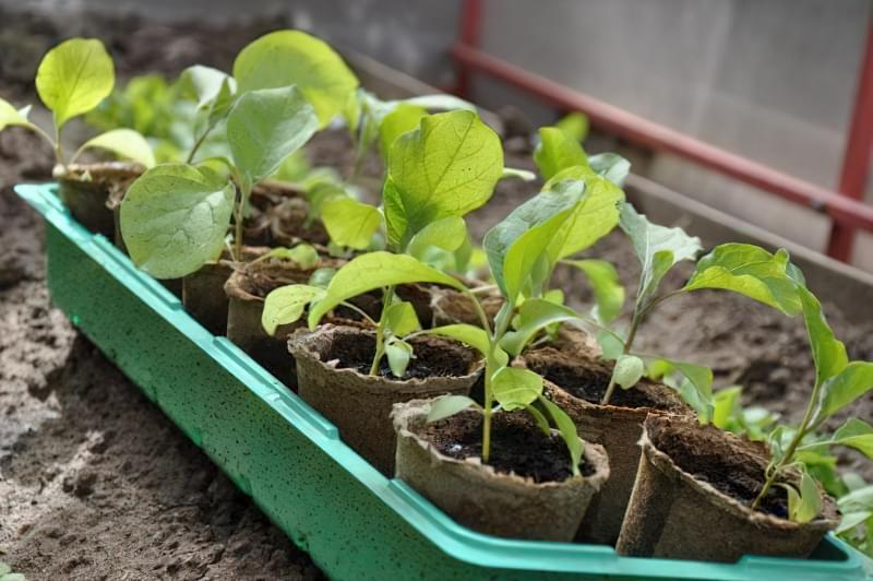 Як доглядати за розсадою баклажанів в домашніх умовах 7