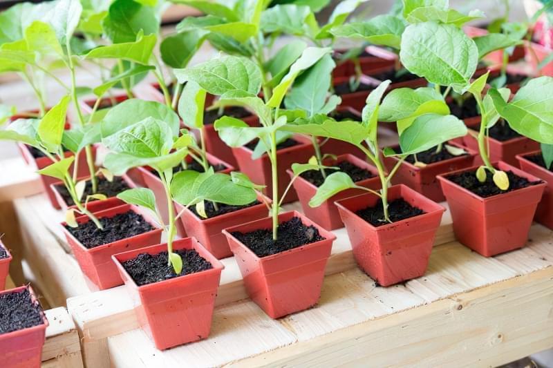 Як доглядати за розсадою баклажанів в домашніх умовах 6