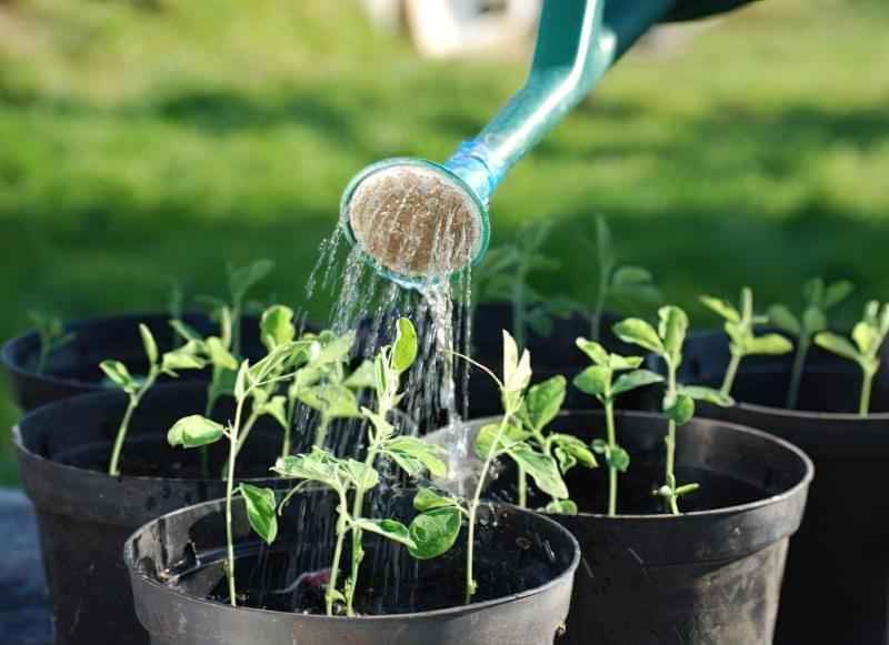 Як правильно поливати перець в теплиці і у відкритому грунті 2