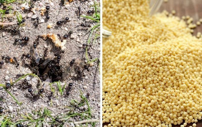 Чи допомагає пшоно позбутися від садових мурах 1