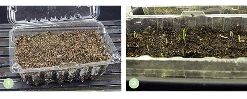 Підготовка і посів цибулі на розсаду