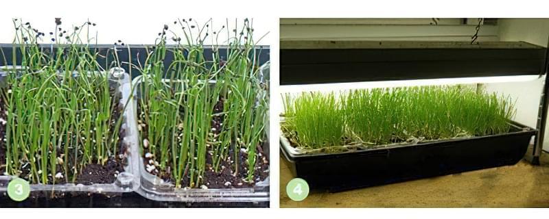 Вирощування розсади цибулі неможливо без хорошої освітленості