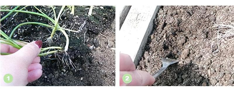 Коли висаджувати розсаду цибулі в грунт