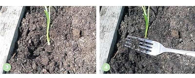 Як виростити ріпчасту цибулю з розсади 3