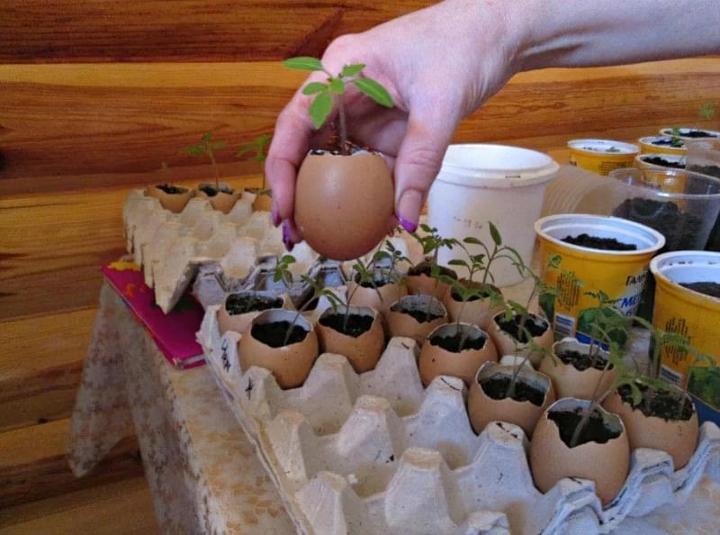 Як вирощувати розсаду в яєчній шкаралупі: відразу з добривом 3