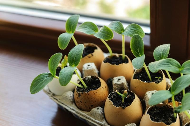 Як вирощувати розсаду в яєчній шкаралупі: відразу з добривом 2