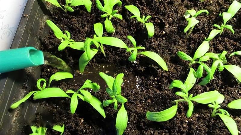 Вирощування розсади за китайським методом 3
