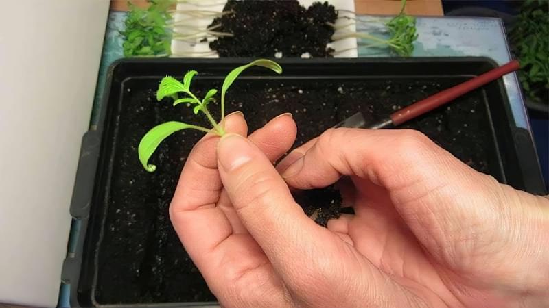 Вирощування розсади за китайським методом 4