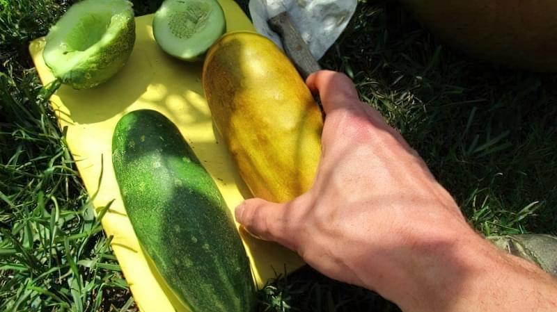 Збір, сушка і зберігання насіння огірків своїми руками 2