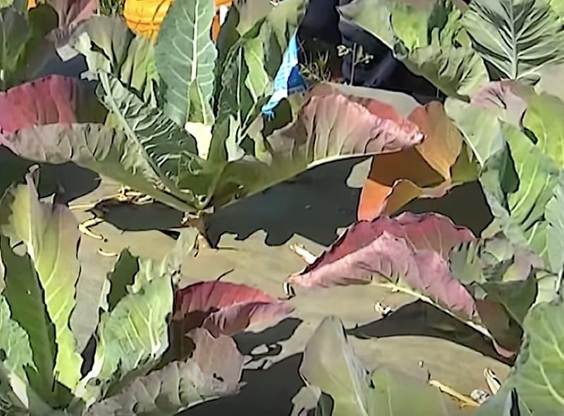 На капусті почервоніло листя, що робити, як боротися 1