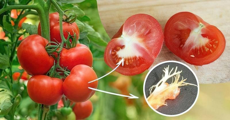 Чому помідори всередині білі і жорсткі 1