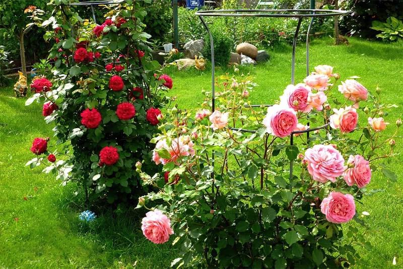 Посадка саджанців троянд ранньою весною 5