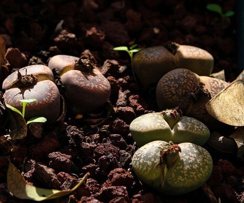 """Літопси або """"живі камені"""": вирощування і догляд в домашніх умовах 2"""