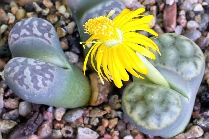 """Літопси або """"живі камені"""": вирощування і догляд в домашніх умовах 3"""