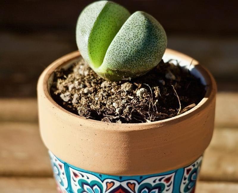 """Літопси або """"живі камені"""": вирощування і догляд в домашніх умовах 4"""