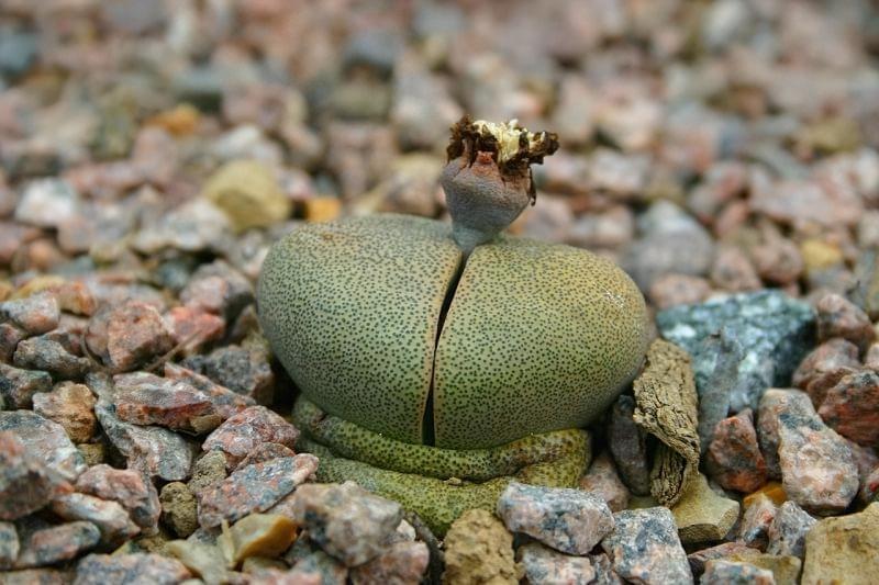 """Літопси або """"живі камені"""": вирощування і догляд в домашніх умовах 5"""