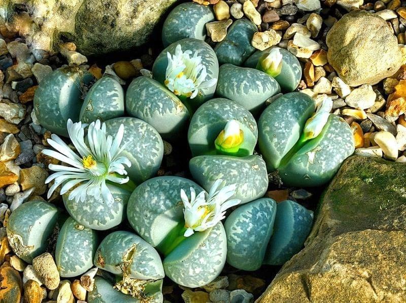 """Літопси або """"живі камені"""": вирощування і догляд в домашніх умовах 1"""