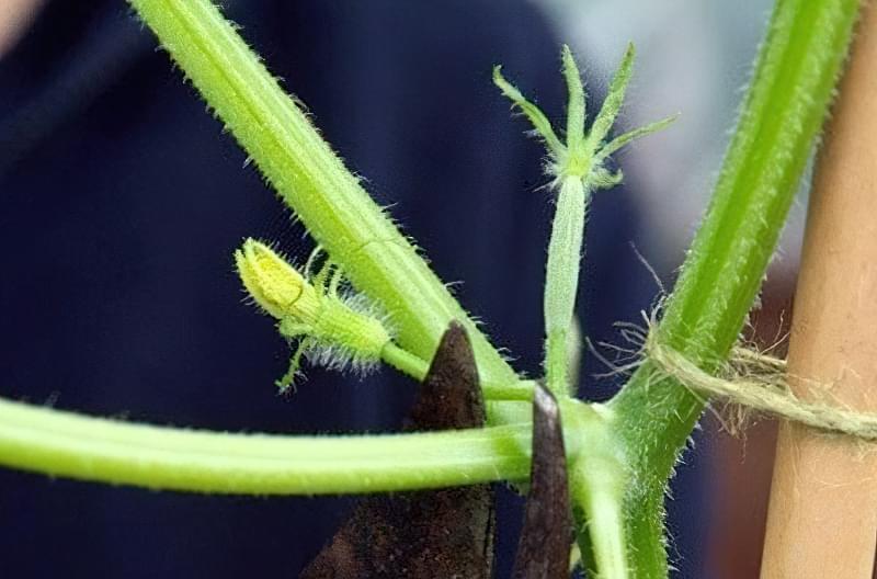 Пасинкування огірків в теплиці: покрокова інструкція для початківців 1