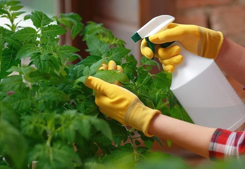 Перегодовування розсади томатів: чим небезпечне і як цього уникнути 2