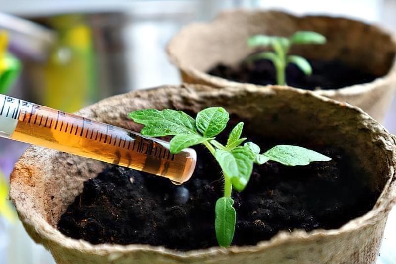 Перегодовування розсади томатів: чим небезпечне і як цього уникнути 3