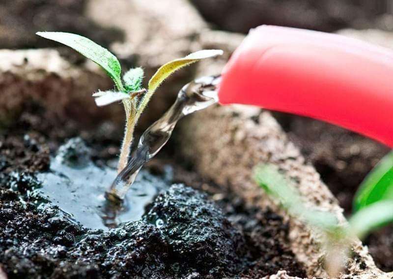 Перегодовування розсади томатів: чим небезпечне і як цього уникнути 4