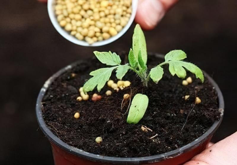 Перегодовування розсади томатів: чим небезпечне і як цього уникнути 1