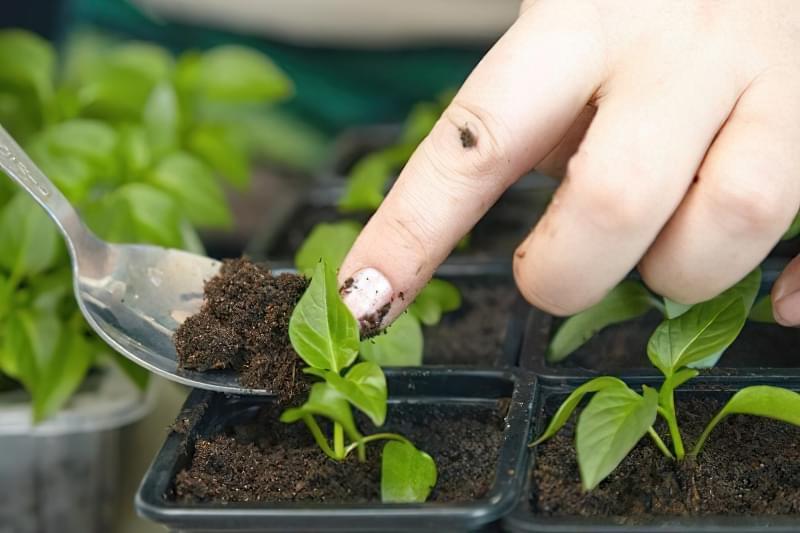 Підживлення розсади солодкого перцю в домашніх умовах: правила і схеми 3