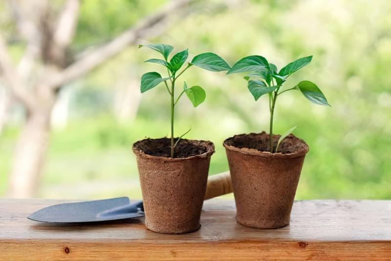 Підживлення розсади солодкого перцю в домашніх умовах: правила і схеми 1