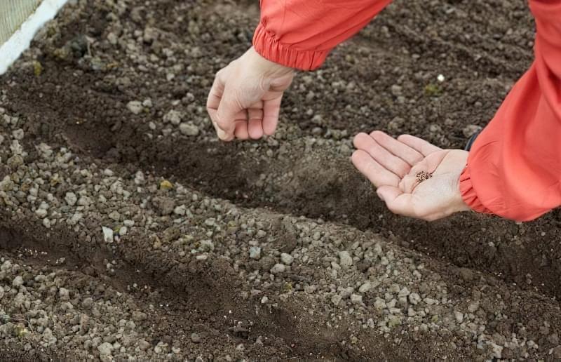 Як і коли посадити редис у відкритий грунт навесні 4