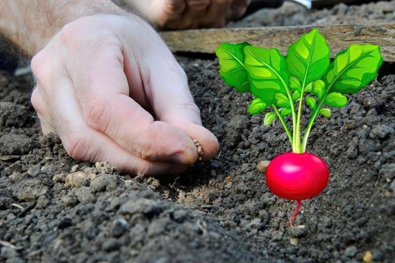 Як і коли посадити редис у відкритий грунт навесні 1