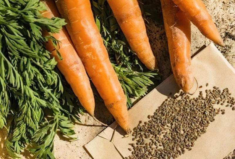 Як підготувати і обробити насіння моркви перед посівом 1