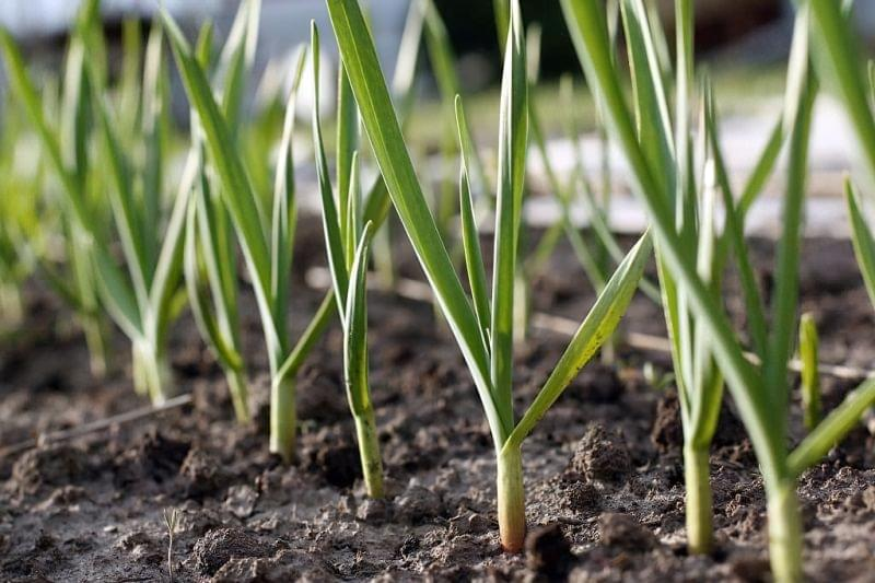 Часник від попелиці - перевірений засіб проти дрібного городнього шкідника 4