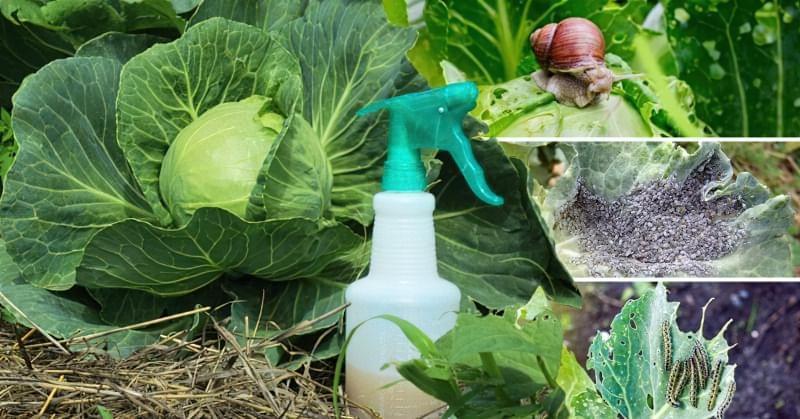 11 способів боротьби зі шкідниками на капусті 3