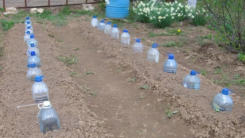 Як і коли правильно садити кабачки насінням у відкритий грунт 3