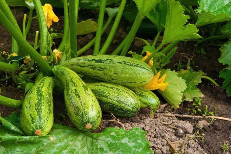 Як і коли правильно садити кабачки насінням у відкритий грунт 1