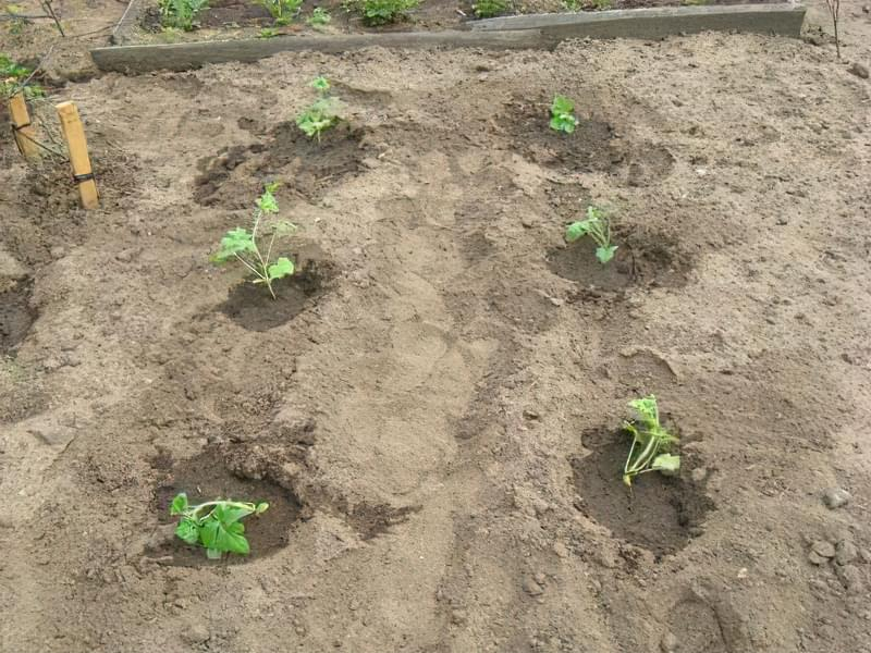 Як і коли правильно садити насіння кавуна 3