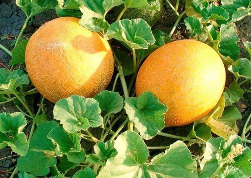 Посадка насіння дині у відкритий грунт і в теплицю: терміни, правила, схеми 1