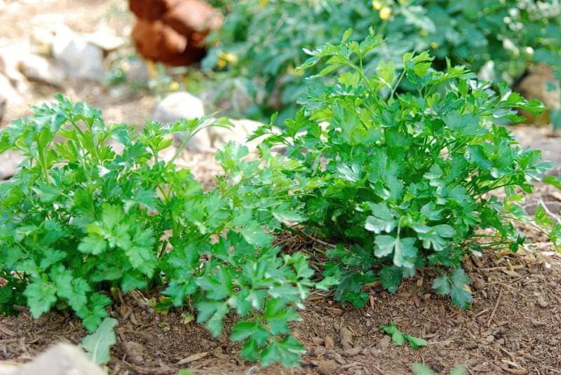 Як посадити та виростити гарний врожай петрушки 2