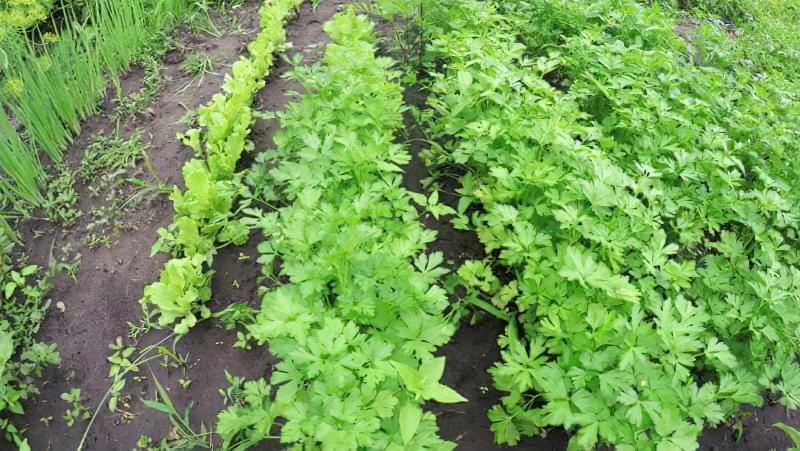 Як посадити та виростити гарний врожай петрушки 3