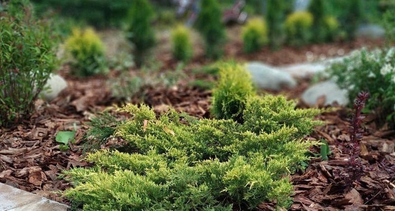 Відновлення хвойних рослин навесні 12