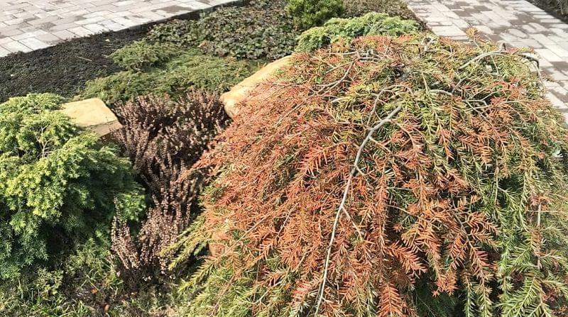 Відновлення хвойних рослин навесні 1