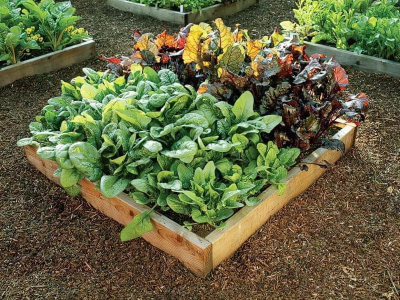 Як виростити шпинат у відкритому грунті: посадка насіння і догляд за зеленню 2