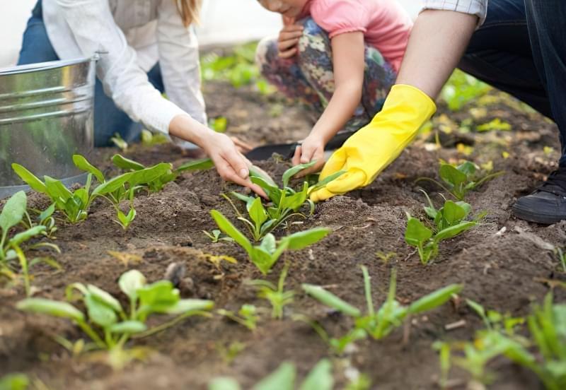 Як виростити шпинат у відкритому грунті: посадка насіння і догляд за зеленню 3